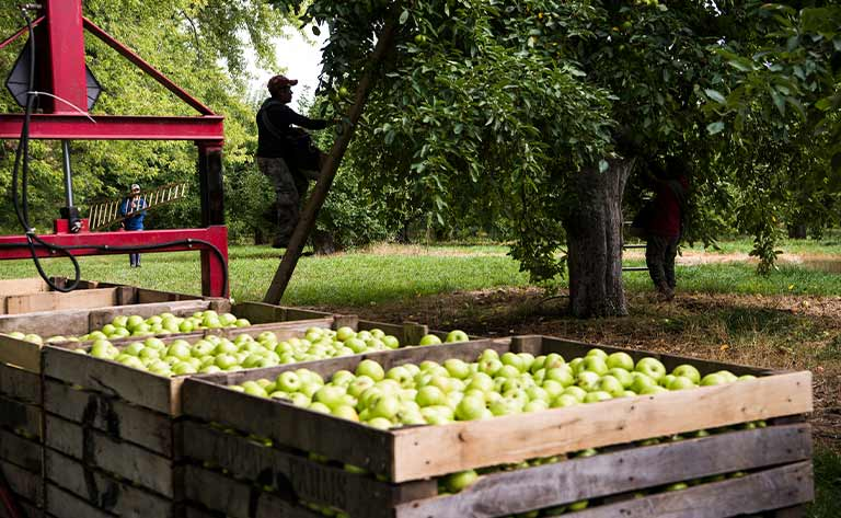 Farmers harvesting apples from trees.