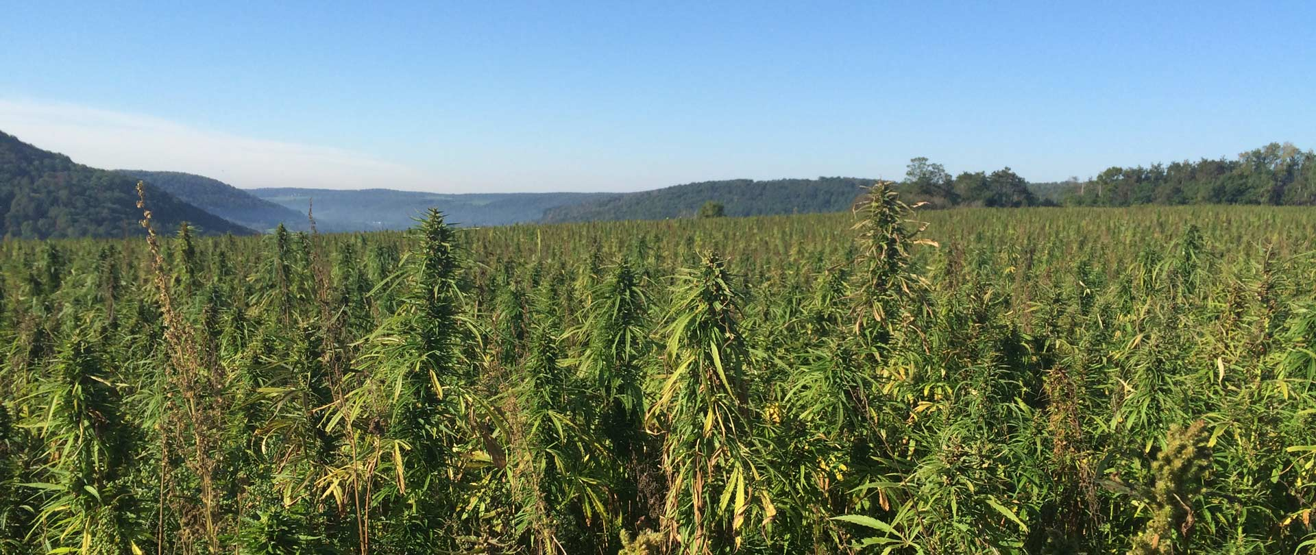 Industrial Hemp Research Initiative in New York State